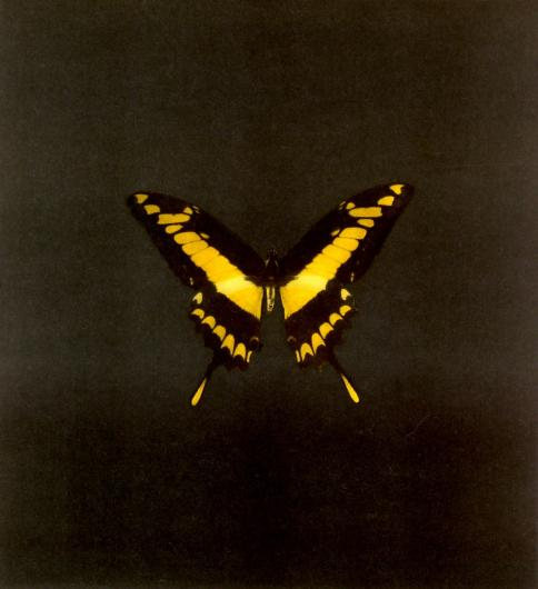 Damien Hirst:The Souls on Jacob's Ladder Take Their Flight (Small Yellow/Black)