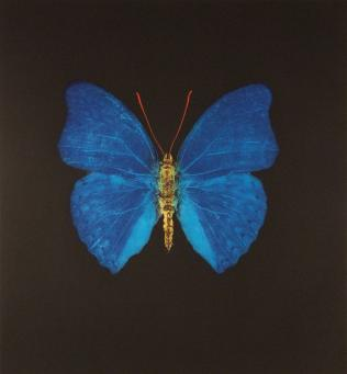 Damien Hirst:The Souls on Jacob's Ladder Take Their Flight (Large Blue Gold Red Butterfly)